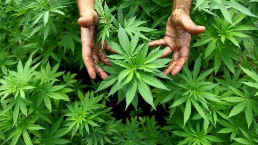 cannabis-oogst
